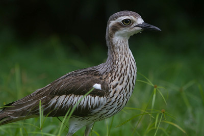 Never found on the mudflats, the dry-land Bush Thick-knee is one elegant shorebird. (Photo by participant Conny Palm)