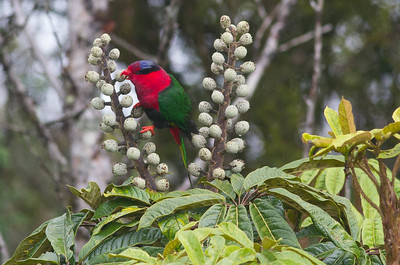 A Papuan Lorikeet adds a burst of color to a fruiting Schefflera. (Photo by participant Conny Palm)