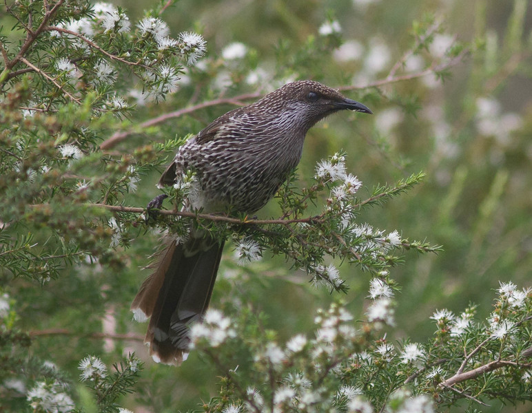 This is how we typically see the spiky-looking Little Wattlebird -- feeding in a flowering tree. (Photo by participant Conny Palm)