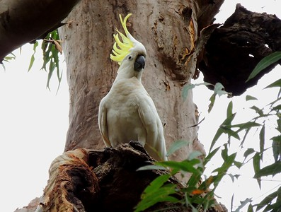 Any bird with a do like this is worth a pause, common or not: the fantastic Sulphur-crested Cockatoo! (Photo by participant Max Rodel)