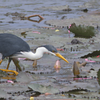 We begin this month's gallery of recent tour photos with participant Conny Palm's painterly image of a Pied Heron from our recent New Guinea & Australia tour with guide Jay VanderGaast.