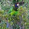 Keeping on the Australasian theme we move to one of our fall Australia tours with guides John Coons and John Rowlett: Here's a multicolored Port Lincoln Parrot photographed by participant Max Rodel.