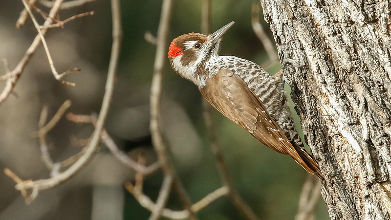 Skipping northward to our Arizona Winter Specialties trip with guide Chris Benesh, it's apt to begin with Arizona Woodpecker, photographed by participant Dan Ellison.