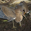 """This young Bare-throated Tiger-Heron gave us the full barred effect -- the """"tiger"""" part. Photo by guide Chris Benesh."""