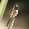The small Mexican Sheartail is one of the hummer specialties of this tour. Photo by guide Chris Benesh.