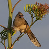 Plain Chachalaca, a raucous contributor to the soundscape, photographed by guide Chris Benesh.