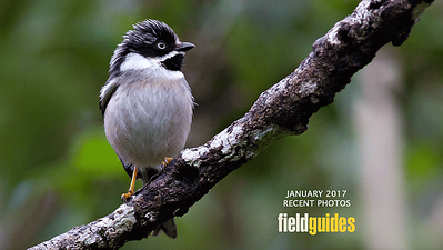 We begin this month's gallery of recent tour photos with a handsome Black-throated Tit photographed on our Vietnam tour by guide Doug Gochfeld. Enjoy a little virtual travel with the following images!