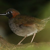 Black-faced Antthrush is often a voice in the forest, but this one popped up on a branch for a look at us and us at it. Photo by guide Chris Benesh.