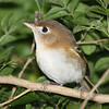 The brown Cozumel Vireo is a distinctive endemic on that island off the Yucatan. Photo by guide Chris Benesh.