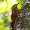 Northern Barred-Woodcreeper, photographed by guide Chris Benesh.