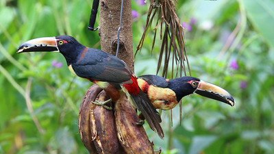 Offered some free bananas, these Collared Aracaris allowed us fine looks at their intricate patterns. Photo by participant Howard Patterson.