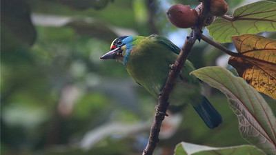 Another beautifully patterned face: Indochinese Barbet at Deo Nui San by guide Dave Stejskal.
