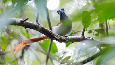 "The spectacular Blyth's Paradise-Flycatcher is one of three species resulting from the split of the wide-ranging ""Asian"" Paradise-Flycatcher. Photo by guide Doug Gochfeld."