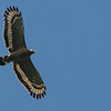 Crested Serpent-Eagle shows a magnificent underwing profile in flight. Photo by guide Doug Gochfeld.