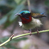Guide Dave Stejskal captured this fine view of a fluffed up Fork-tailed Sunbird at Mang Den.