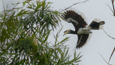This Oriental Pied-Hornbill in flight gives the full effect of the large bird's lovely wing and tail pattern. Photo by guide Doug Gochfeld.