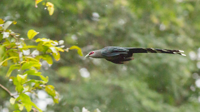 Malkohas are large cuckoos, and guide Doug Gochfeld caught this Green-billed nicely in mid-flight.