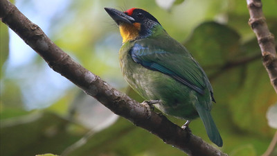 A Golden-throated Barbet at Deo Nui San by guide Dave Stejskal.