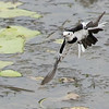 "This ""Chinese"" White Wagtail of the race leucopsis made for an graceful image by guide Doug Gochfeld."