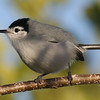 The spritely White-lored Gnatcatcher is another Mexico-to-Costa-Rica species. Photo by guide Chris Benesh.
