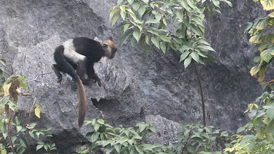 ...a critically endangered primate, Delacour's Langur. This youngster was among a larger group we observed well. Photos by guide Doug Gochfeld.