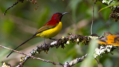 Nine species of sunbird are possible, and this Gould's Sunbird is certainly among the most spectacular small species on the trip. Photo by guide Doug Gochfeld.