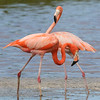 Our last stop is in Mexico on our trip to the Yucatan Peninsula and Cozumel Island. These were two of the American Flamingos at Celestun...
