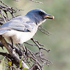 Mexican Jay with a couple of morsels, photographed by participant Dan Ellison.