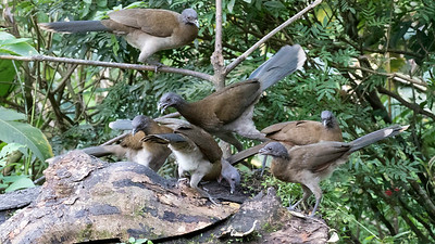 A mob of Gray-headed Chachalacas photographed by participant Howard Patterson.