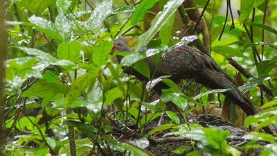 What's that in the undergrowth? A scarce regional specialty, Germain's Peacock-Pheasant! Photo by guide Doug Gochfeld.