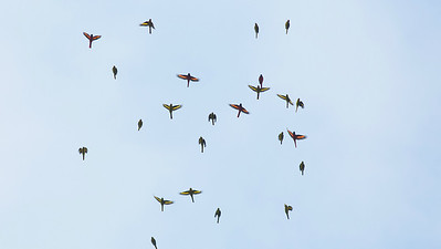 A flock of Scarlet Minivets created a little bit of aerial art, nicely captured by guide Doug Gochfeld at Cuc Phuong.