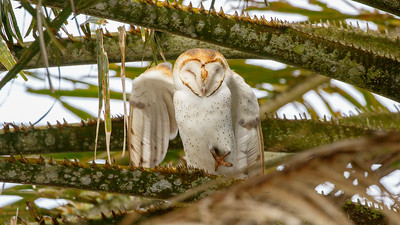 This lovely Barn Owl was a good find among the spiky palm fronds. Photo by participant Janice White.