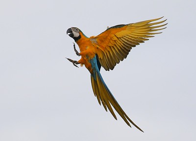 Participant Ken Trease also shared this dramatic capture of a brilliant Blue-and-yellow Macaw either air-walking or coming in for a landing!