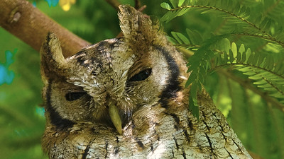 We found this roosting Tropical Screech-Owl to be extremely accommodating. Photo by participant Rick Woodruff.
