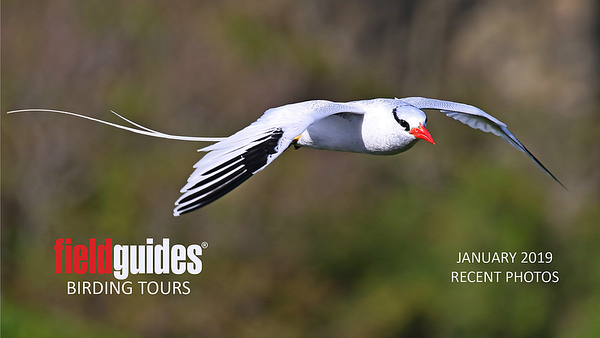 This splendid, soaring Red-billed Tropicbird by participant Ken Trease from our recent Trinidad & Tobago tour leads us into our January Recent Photos Gallery. We're showcasing a number of holiday tours this month, including two at Rancho Naturalista in Costa Rica, Panama's Canopy Camp, Panama's Canopy Lodge, Guyana, Ecuador's Wildsumaco Lodge, Oaxaca, Arizona Winter Specialties, and a few additional images from Vietnam.