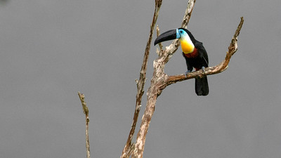 We enjoyed a marvelous study of this colorful Channel-billed Toucan. Photo by guide Doug Gochfeld.