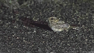 One of the highlights from our evening outing was this cooperative White-tailed Nightjar. Photo by guide Doug Gochfeld.