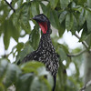 """A Crested Guan at Tikal NP peeks out from among the foliage.  <div id=""""caption_tourlink"""" align=""""right""""> [Photo © guide Jesse Fagan]</div>"""
