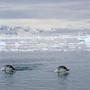 "Porpoising Gentoo Penguins...you have to get the photo timing just right!<div id=""caption_tourlink"" align=""right""> [Photo © guide George Armistead]</div>"
