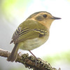 """...and the tiny Ochre-faced Tody-Flycatcher, likely appearing larger than real-life on your screen!<div id=""""caption_tourlink"""" align=""""right""""> [Photo © guide Jay VanderGaast]</div>"""
