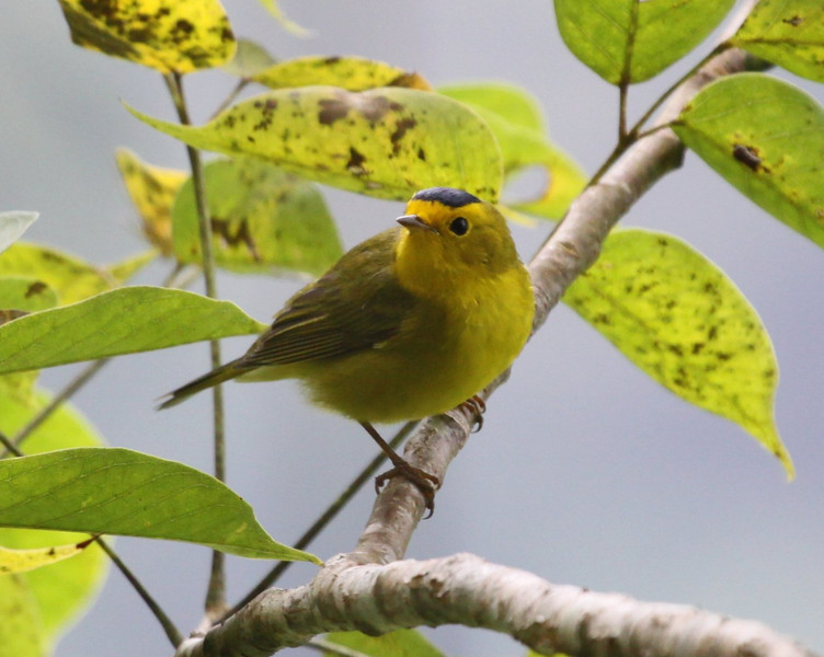 """North American breeders migrate in large numbers to winter in Central America, offering visiting birders some familiar and welcome reference points!  Here's a handsome male Wilson's Warbler at Finca La Giralda, El Salvador. <div id=""""caption_tourlink"""" align=""""right""""> [Photo © guide Jesse Fagan]</div>"""