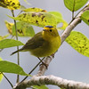 "North American breeders migrate in large numbers to winter in Central America, offering visiting birders some familiar and welcome reference points!  Here's a handsome male Wilson's Warbler at Finca La Giralda, El Salvador. <div id=""caption_tourlink"" align=""right""> [Photo © guide Jesse Fagan]</div>"