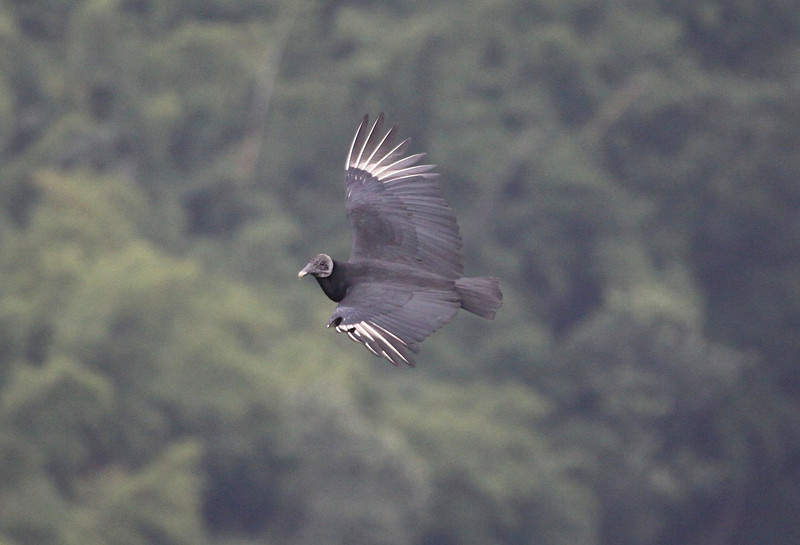 "OK, so most of us don't usually spend much time looking at common and widespread birds like this soaring Black Vulture, at the mirador at Finca La Giralda, El Salvador. It's a pretty cool view of the wing pattern, though, don't you think?  <div id=""caption_tourlink"" align=""right""> [Photo © guide Jesse Fagan]</div>"