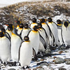 """Some elegantly attired King Penguins, one of the few species that can be found breeding almost year round.<div id=""""caption_tourlink"""" align=""""right""""> [Photo © guide George Armistead]</div>"""