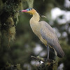 """...and the incomparable Whistling Heron...<div id=""""caption_tourlink"""" align=""""right""""> [Photo © guide Jay VanderGaast]</div>"""