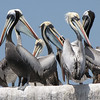 "Peruvian Pelicans, similar in appearance to but much larger than Brown Pelicans, create a geometric composition.  <div id=""caption_tourlink"" align=""right""> [Photo © participant Mike Bowen]</div>"