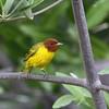 "A beautiful ""Mangrove"" Yellow Warbler at Bahia de Jiquilisco, El Salvador.  <div id=""caption_tourlink"" align=""right""> [Photo © guide Jesse Fagan]</div>"