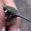 "A hatch-year Green-throated Mountain-gem banded at Cerro Verde (Los Volcanes NP), El Salvador.  <div id=""caption_tourlink"" align=""right""> [Photo © guide Jesse Fagan]</div>"