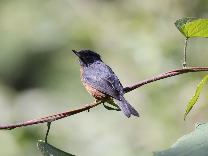 "Cinnamon-bellied Flowerpiercer at Fuentes Georgina, Guatemala -- note the distinctive bill shape characteristic of the flowerpiercers, who pierce the base of flowers to reach nectar that would otherwise be inaccessible to them.  <div id=""caption_tourlink"" align=""right""> [Photo © guide Jesse Fagan]</div>"