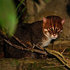 ...but a mammal stole the show when the group spotted a fantastic Flat-headed Cat along the Menanggul River.  Looks pretty sedate here... (Photo by participant Johnny Powell)